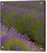 Early Morning Lavender Acrylic Print