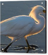 Early Morning Light On Egret Acrylic Print