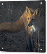 Early Morning Red Fox Prowl Acrylic Print