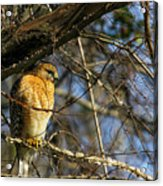 Early Morning Still Hunting  Coopers Hawk Art Acrylic Print