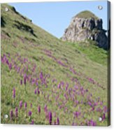 Early Purple Orchids In The Derbyshire Dales Acrylic Print