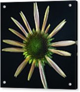 Early Stage Of Cone Flower Bloom Acrylic Print
