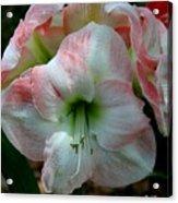 Easter Amaryllis Acrylic Print