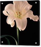 Easter Lily 3 Acrylic Print
