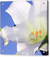 Easter Lily Back Lit By The Sun  Acrylic Print