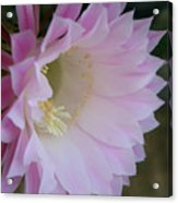 Easter Lily Cactus East 2 Acrylic Print