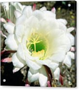 Easter Lily Cactus Flower Acrylic Print