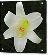 Easter Lily With Black Background Acrylic Print