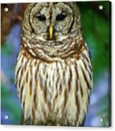 Eastern Barred Owl Acrylic Print