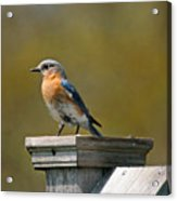 Eastern Blue Bird Acrylic Print
