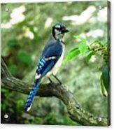 Eastern Blue Jay Acrylic Print