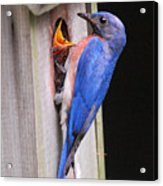 Eastern Bluebird And Chick Acrylic Print