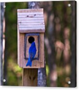 Eastern Bluebird Entering Home Acrylic Print