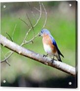 Eastern Bluebird Acrylic Print by George Randy Bass