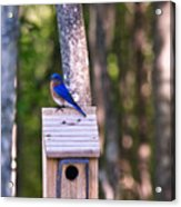 Eastern Bluebird Perched On Birdhouse 2 Acrylic Print
