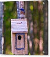 Eastern Bluebird Perched On Birdhouse 4 Acrylic Print