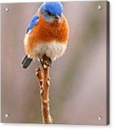 Eastern Bluebird Treetop Perch Acrylic Print by Max Allen