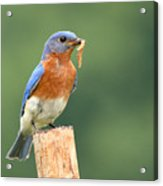 Eastern Bluebird With Caterpillar Lunch Acrylic Print