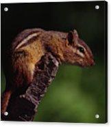 Eastern Chipmunk On Stump Acrylic Print