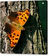 Eastern Comma Butterfly Acrylic Print