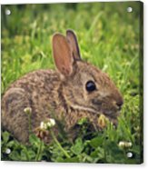 Eastern Cottontail Acrylic Print