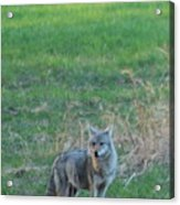 Eastern Coyote In Grass Acrylic Print