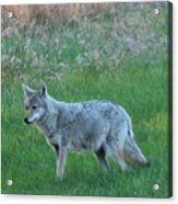 Eastern Coyote In Meadow   Acrylic Print