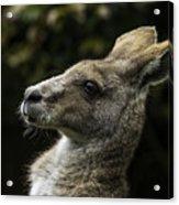 Eastern Grey Kangaroo Acrylic Print