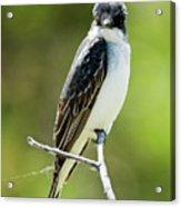 Eastern Kingbird Stare Acrylic Print
