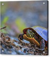 Eastern Painted Turtle Chrysemys Picta Acrylic Print