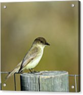 Eastern Phoebe At Falcon State Park Of Texas Acrylic Print