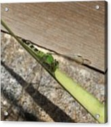 Eastern Pondhawk On A Leaf Acrylic Print