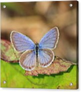 Eastern Tailed Blue Acrylic Print