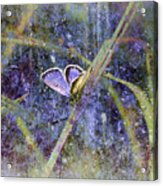 Eastern Tailed Blue Acrylic Print