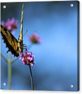 Eastern Tiger Swallowtail And Blue Sky Acrylic Print