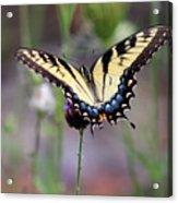 Eastern Tiger Swallowtail Butterfly In Garden 2016 Acrylic Print