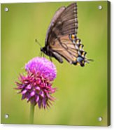 Eastern Tiger Swallowtail Dark Form  Acrylic Print