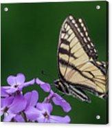 Eastern Tiger Swallowtail Acrylic Print