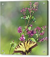 Eastern Tiger Swallowtail No. 4 Acrylic Print