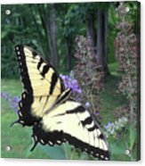 Eastern Tiger Swallowtail Sipping Nectar Acrylic Print