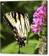 Eastern Triger Swallowtail Acrylic Print