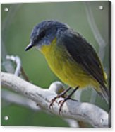 Eastern Yellow Robin Acrylic Print