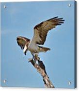 Eating Osprey-1 Acrylic Print by Rudy Umans