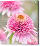 Echinacea Butterfly Kisses Acrylic Print