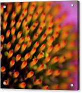 Echinacea Coneflower Abstract Acrylic Print