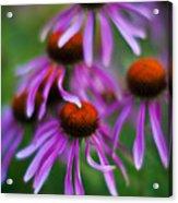Echinacea Crowd Acrylic Print