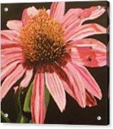 Echinacea Flower Acrylic Print