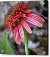 Echinacea Hot Papaya Acrylic Print
