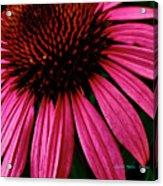 Echinacea IIi Acrylic Print