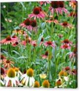 Echinacea Multi Mix Acrylic Print
